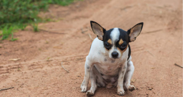 What are Little White Worms in Dog Poop? | PetCoach