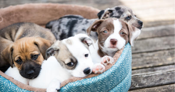 Can You Breed Brother and Sister Dogs? | PetCoach