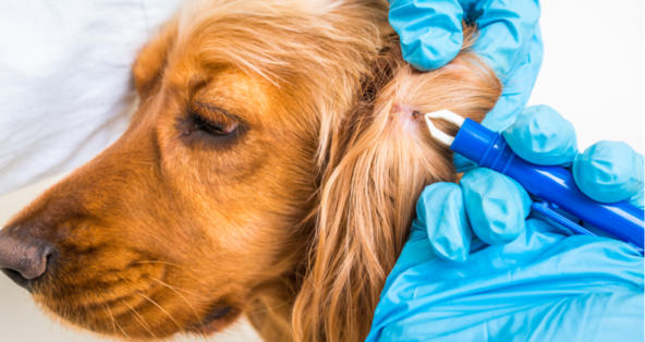 I Use Nexgard For Ticks But Found A Dead Tick On My Dog Petcoach