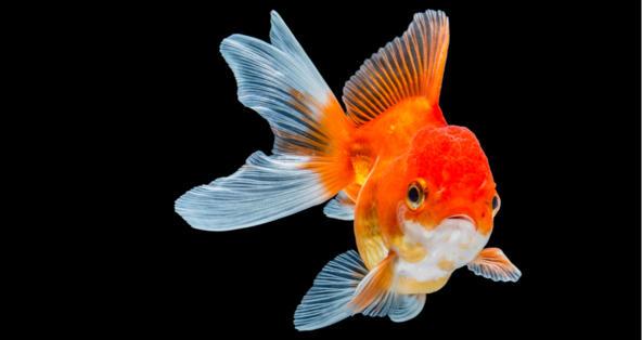 why do goldfish turn white petcoach