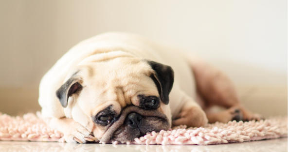 My Dog's Stomach Is Making Loud Noises and He Won't Eat | PetCoach