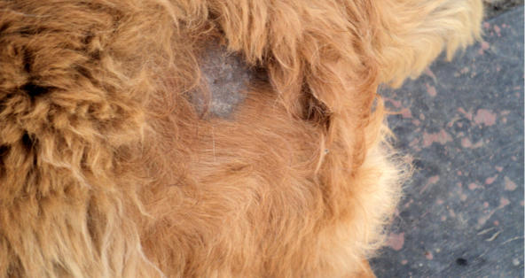 dog bald patch hair loss