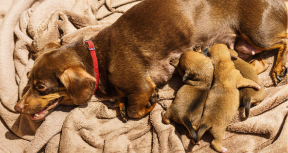 How Long Can a Dog be in Labor before Delivery?   PetCoach