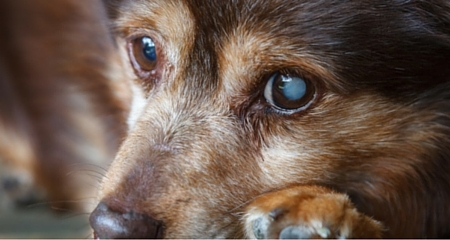 7 Potentially Serious Causes of Cloudy Eyes in Dogs   PetCoach