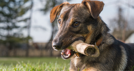 Why Do Dogs Bury Bones? | PetCoach