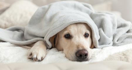 Pyometra in Dogs | PetCoach