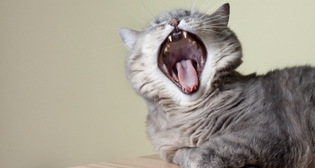 why does my cat s breath smell so bad petcoach. Black Bedroom Furniture Sets. Home Design Ideas