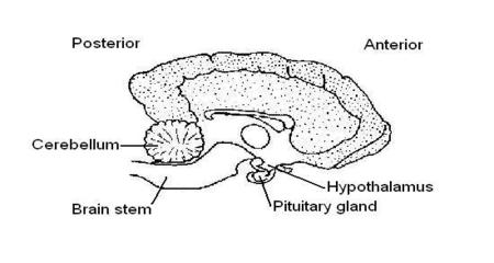 Unlabeled diagrams of a dogs brain block and schematic diagrams dog brain stem diagram electrical drawing wiring diagram u2022 rh circuitdiagramlabs today blank brain diagram half brain diagram ccuart Image collections