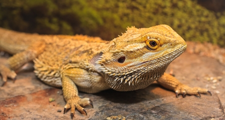 Things Your Bearded Dragon Can T Live Without Petcoach