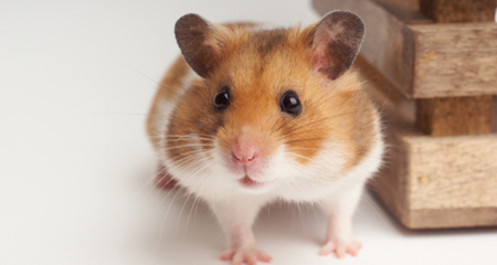 5 Most Popular Hamster Breeds Which Is Right For Me Petcoach