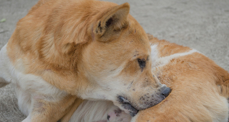 Skin Ulcers and Draining Lesions in Dogs | PetCoach