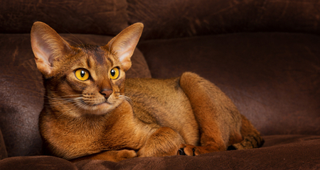 Abyssinian Cat Intelligence