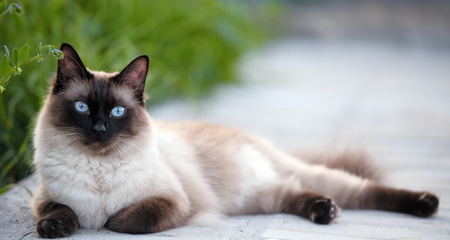 5 Facts About Siamese Cats Petcoach