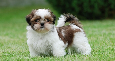 Shih Tzu Dog Breed Information Pictures And Fun Facts Petcoach