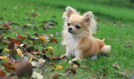 I Have Pomeranian Mix Chihuahua And The Dominant Is The Pomeranian