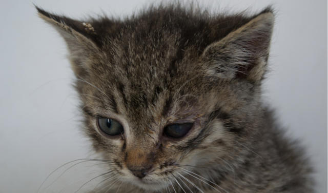 Herpesvirus Fhv Eye Infection In Cats Petcoach