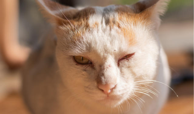 Eyeworms in Cats | PetCoach
