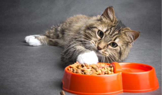 Food Allergies in Cats | PetCoach
