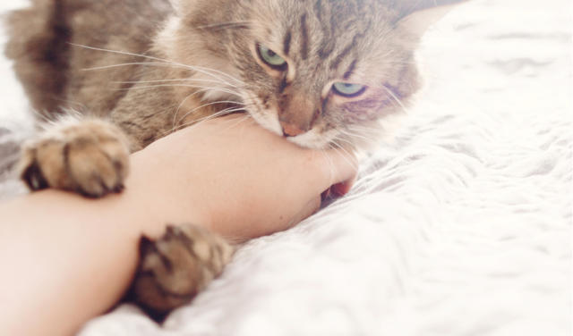 Petting-related Aggression in Cats   PetCoach