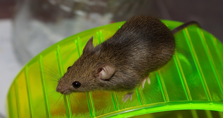 Environmental Enrichment May Help Treat >> Toys And Other Environmental Enrichment For Rats And Mice Petcoach