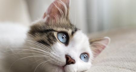 persian cat black spots on skin