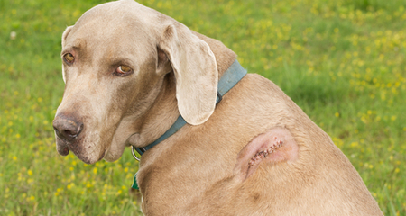 Incisions and Healing | PetCoach