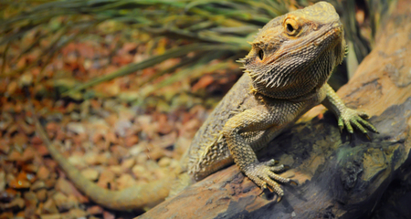 Bearded Dragon Pogona Species Profile Habitat Diet And Care