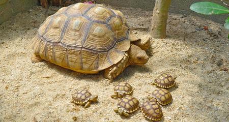 African Sulcata Tortoise (Geochelone sulcata) Species Profile