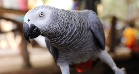 African Grey Parrot Species Profile: Diet, Intelligence, and Housing