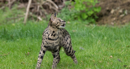 What Is A Hybrid Cat Breed Petcoach