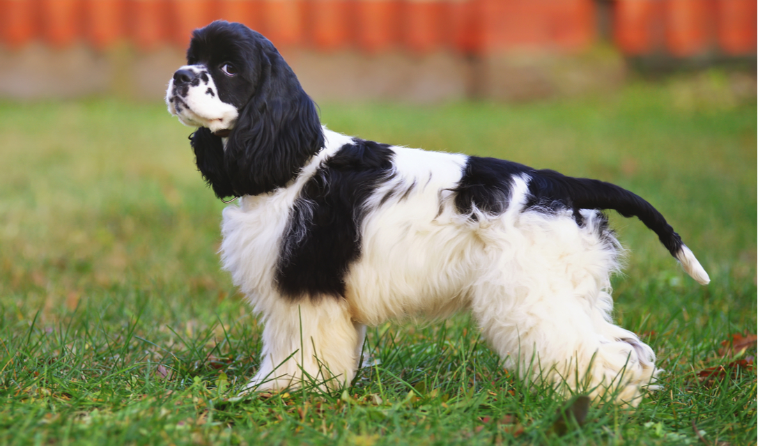 cocker spaniel breed facts and information petcoach