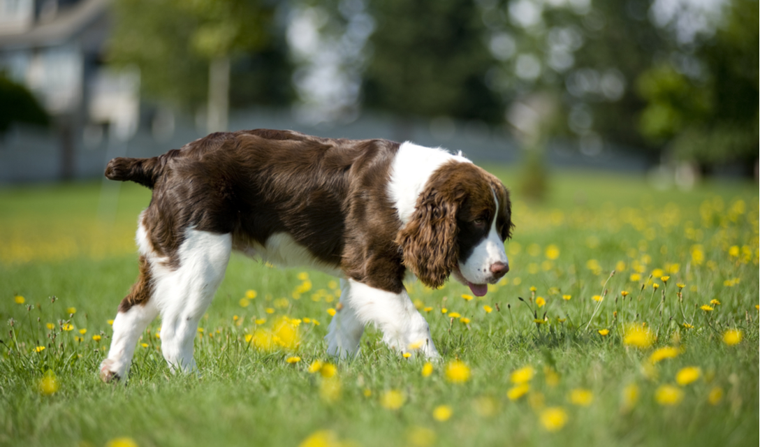 english springer spaniel breed facts and information petcoach
