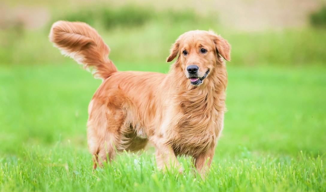 golden retriever dog breed information characteristics fun facts
