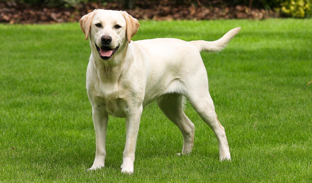 Labrador Retriever Dog Breed Information, Characteristics
