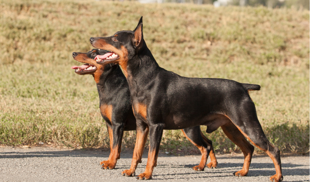 Miniature Pinscher Breed Facts And Information Petcoach