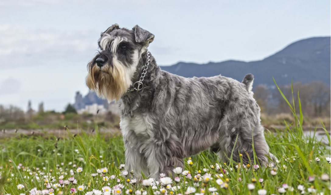 miniature schnauzer facts and information petcoach