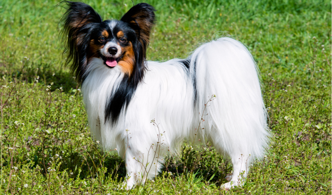 Papillon Breed Facts And Information Petcoach