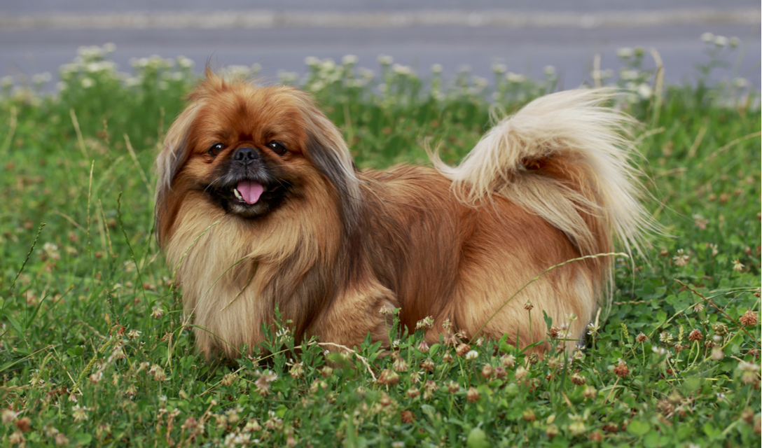 pekingese breed facts and information petcoach