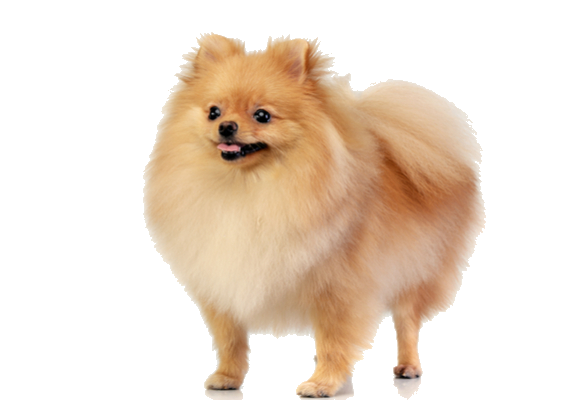pomeranian facts and information petcoach