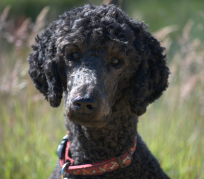 Standard Poodle Facts and Information | PetCoach