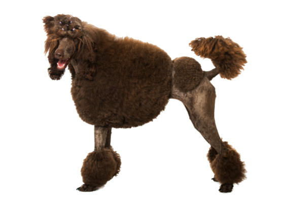 Standard Poodle Facts And Information Petcoach