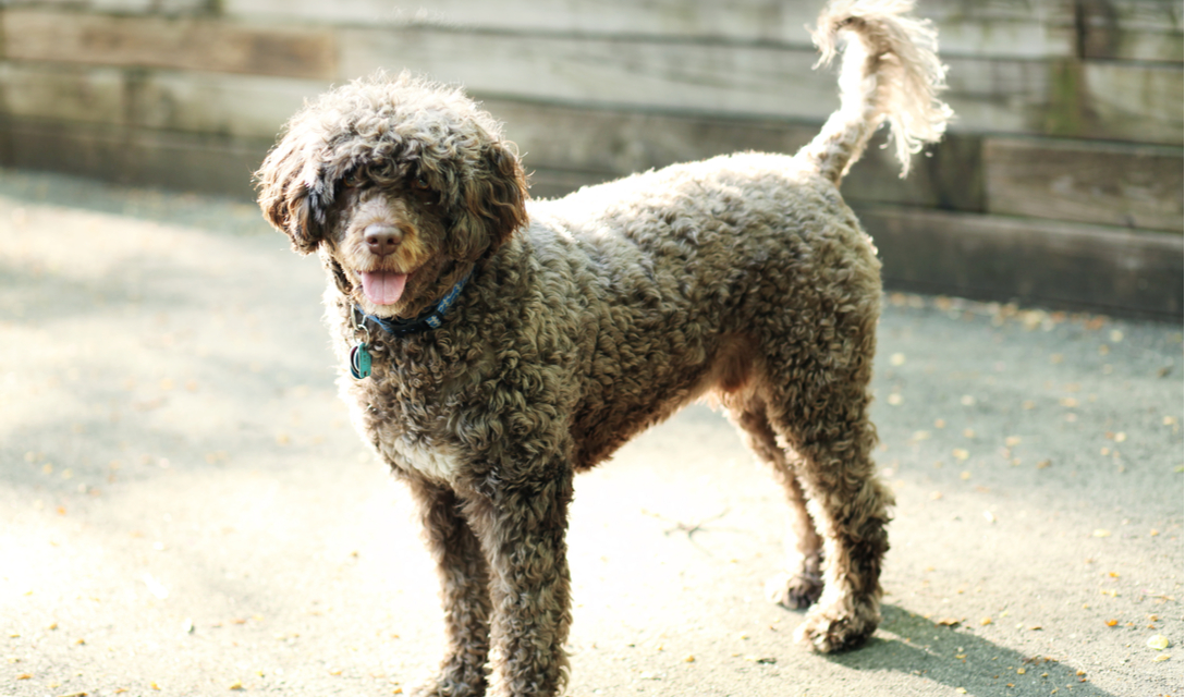 Portuguese Water Dog Breed Facts And Information Petcoach