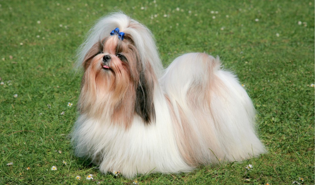 facts about shih tzu shih tzu dog breed information pictures and fun facts 7357