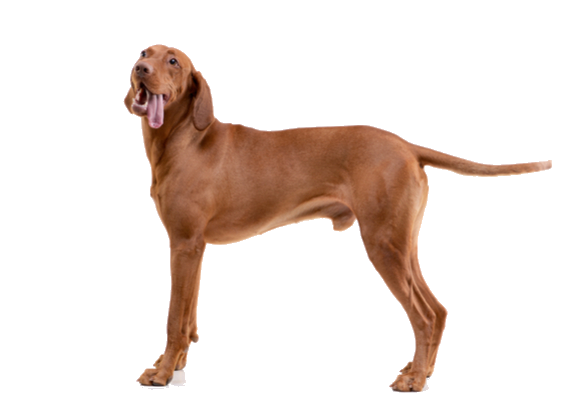 vizsla breed facts and information petcoach
