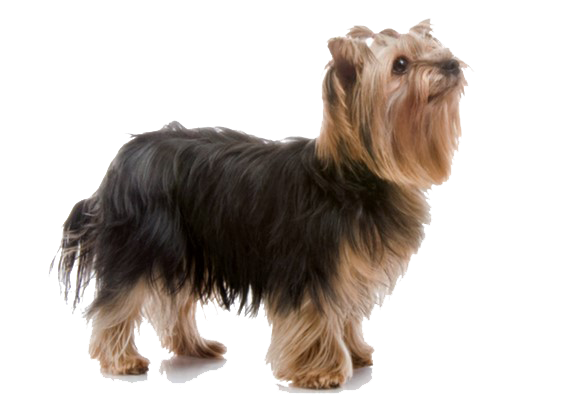 Yorkshire Terrier Dog Breed Information Characteristics Fun Facts