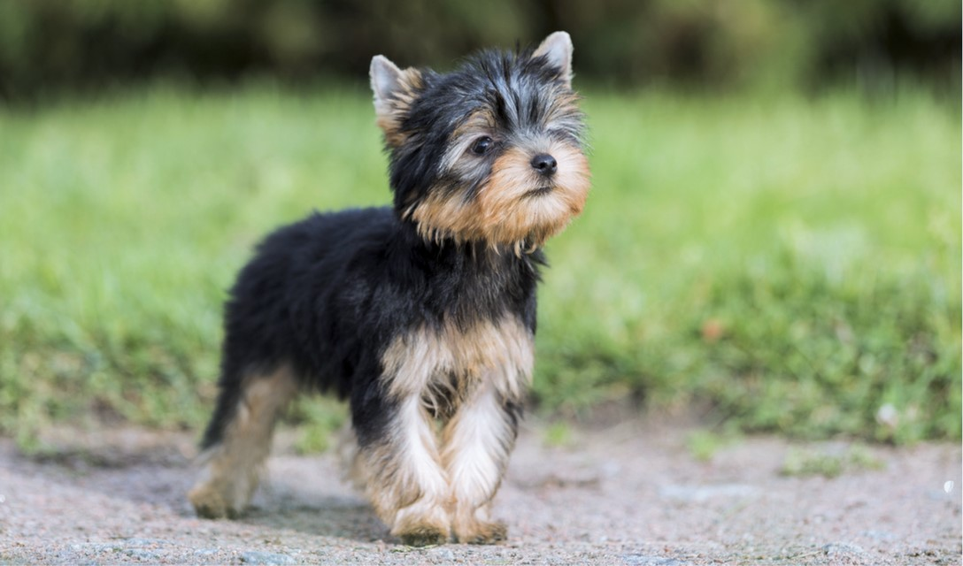 yorkie terrier breed yorkshire terrier dog breed information characteristics 1138