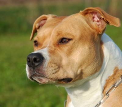 Coach Dog Breed