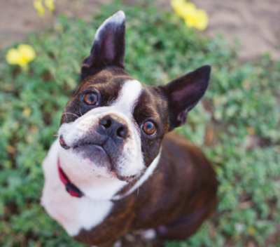 boston terrier cost boston terrier facts and information petcoach 2959