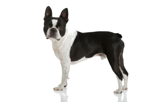 Boston Terrier Facts And Information Petcoach