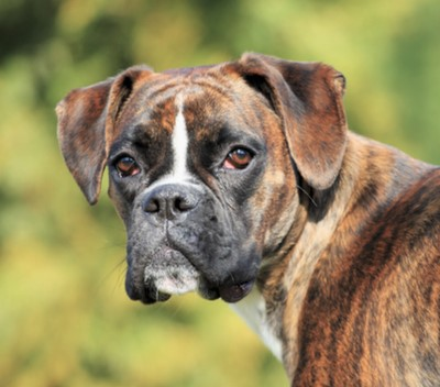 boxer dog breed information characteristics fun facts petcoach